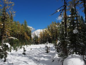 Larches at Tombstone Pass